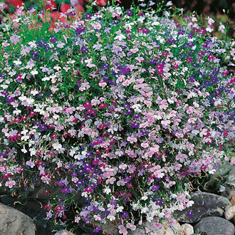 Lobelia Fountains Mixed Seeds