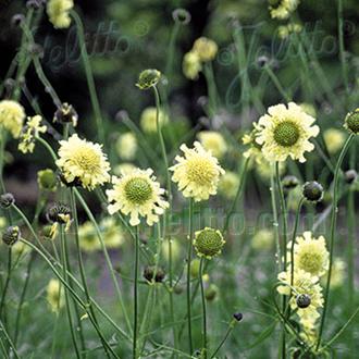 Cephalaria Seeds
