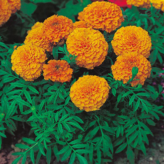 Marigold (African) Sunspot Series Orange Seeds