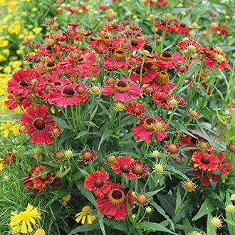 Helenium Helena Red Shades Seeds