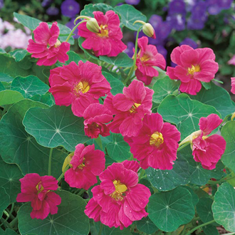 Nasturtium Jewel Cherry Rose Seeds