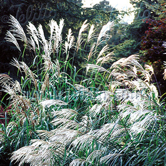 Grass Early Hybrids