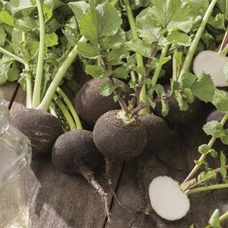 Radish Kulata Cerna Seeds