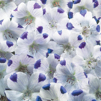 Nemophila Five Spot