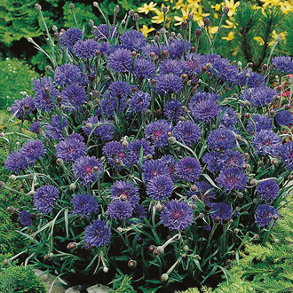 Cornflower Midget Blue Seeds