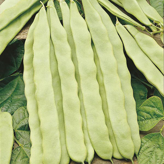 Climbing Bean Hunter Seeds