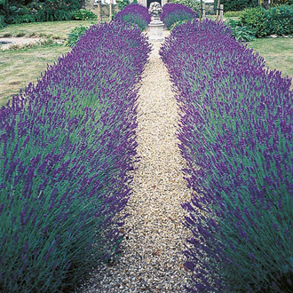 lavender hidcote blue seeds from mr fothergill 39 s seeds and. Black Bedroom Furniture Sets. Home Design Ideas