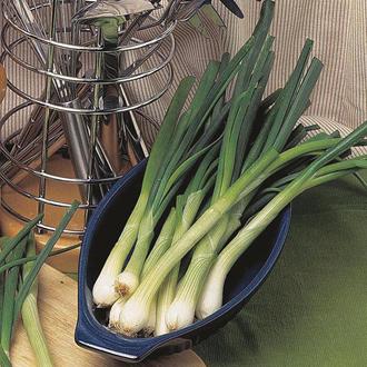 Onion (Spring) Elody Seeds