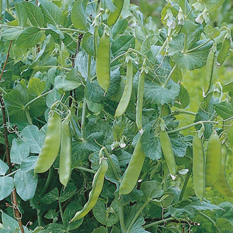 Pea Oregon Sugar Pod Seeds