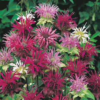 RSPB Bergamot Panorama Mixed Seeds