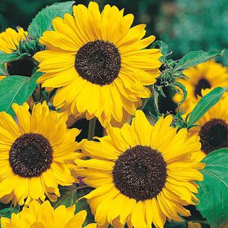 Sunflower Hallo Seeds