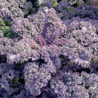 Kale Curly Scarlet Seeds