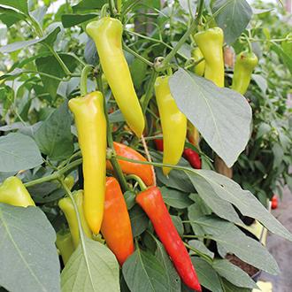 Chilli Pepper Hungarian Hot Wax Seeds