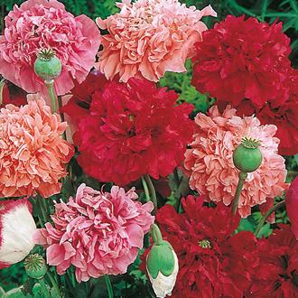 Poppy Paeony Flowered Mix