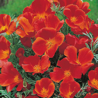 Californian Poppy Red Chief