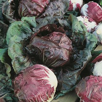 Chicory Palla rosso precoce (Radicchio) Seeds