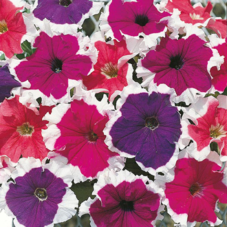 Petunia Frost Mixed F1 Seeds