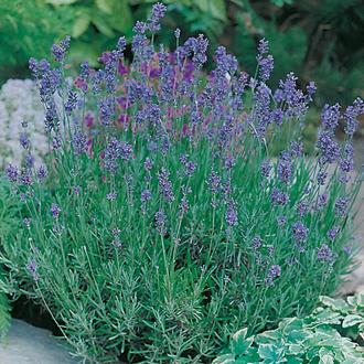 Lavender Munstead Strain Seeds