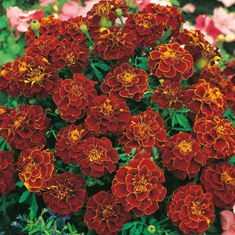 Marigold (French) Red Cherry Seeds
