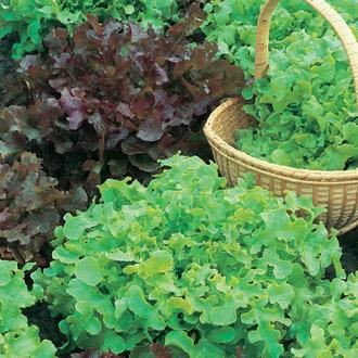 Lettuce Red & Green Salad Bowl Mix