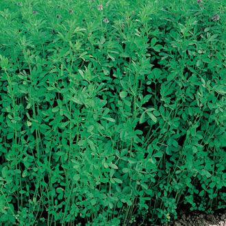 Green Manure Lucerne Alfalfa