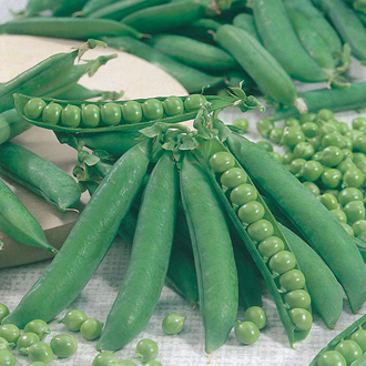 Pea Kelvedon Wonder Seeds