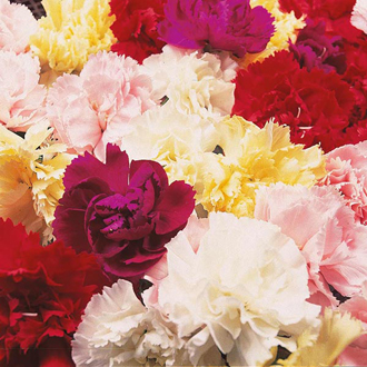 Carnation Dwarf Fragrance Mixed