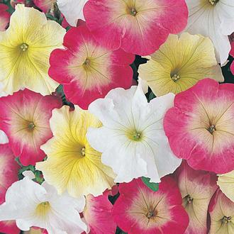 Petunia Knickerbocker Glory F1 Seeds