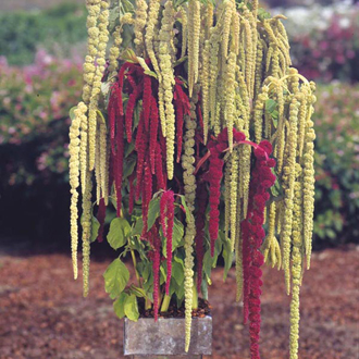 Amaranthus Ribbons and Beads Seeds