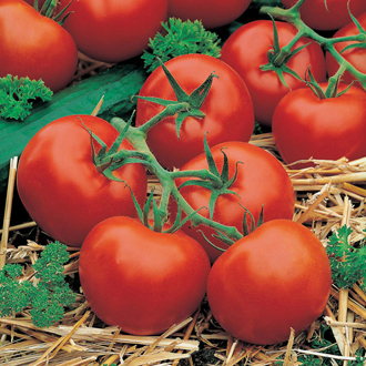 Tomato (Standard) Ferline F1 Seeds