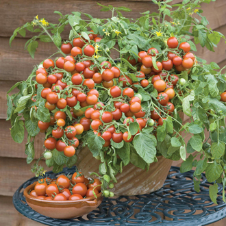 Tomato (Cherry) Cherry Falls Seeds