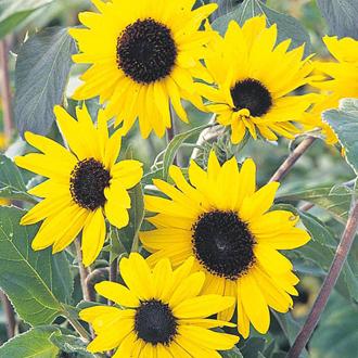 Sunflower Alchemy
