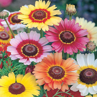 Chrysanthemum Rainbow Mix Seeds