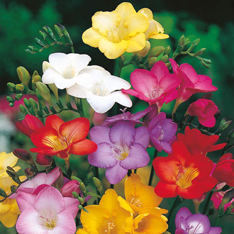 Freesia Scented Mixed