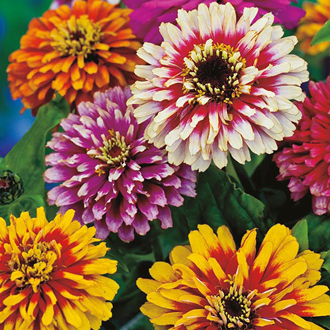 Zinnia Whirlygig Improved Mixed