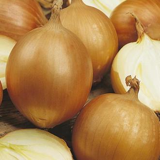 Onion Santero F1 Seeds
