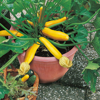 Courgette Buckingham F1 Seeds
