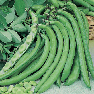 Broad Bean Greeny Seeds