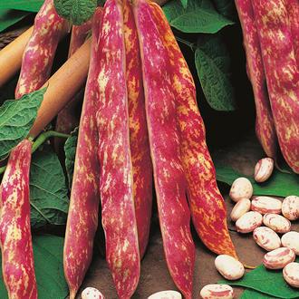Climbing Bean Jimenez Seeds