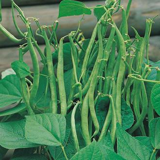 Dwarf Bean Sansoucy Seeds