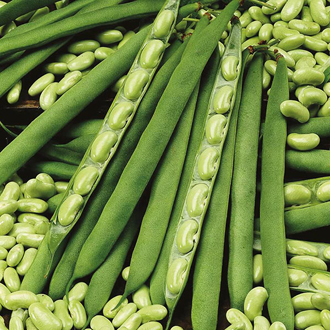 Dwarf Bean (Flageolet) Flambeau Seeds