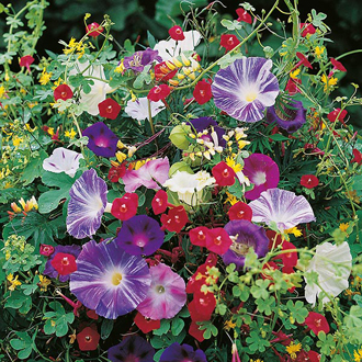 Mixed Climbing Annuals