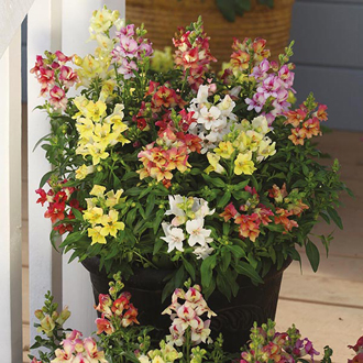 Antirrhinum ReminiScent F1 Seeds