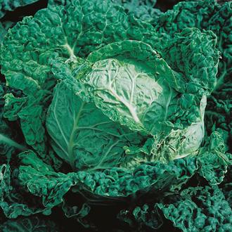 Cabbage Savoy King F1 Seeds