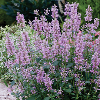 Agastache Rose Mint Seeds