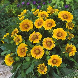 Gaillardia Arizona Apricot Seeds