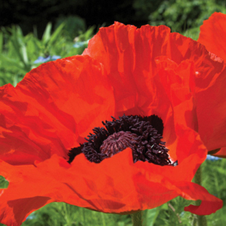 Poppy Beauty of Livermere