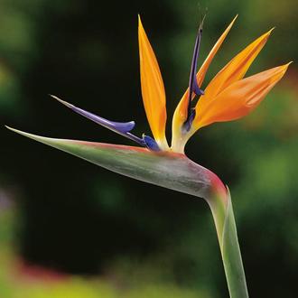 Strelitzia Bird of Paradise