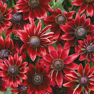 Rudbeckia Cherry Brandy Seeds