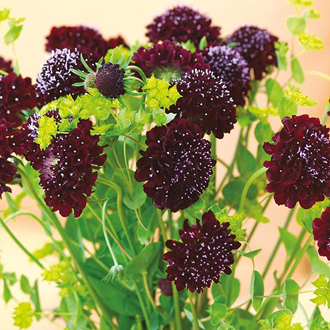 Scabious Black Knight